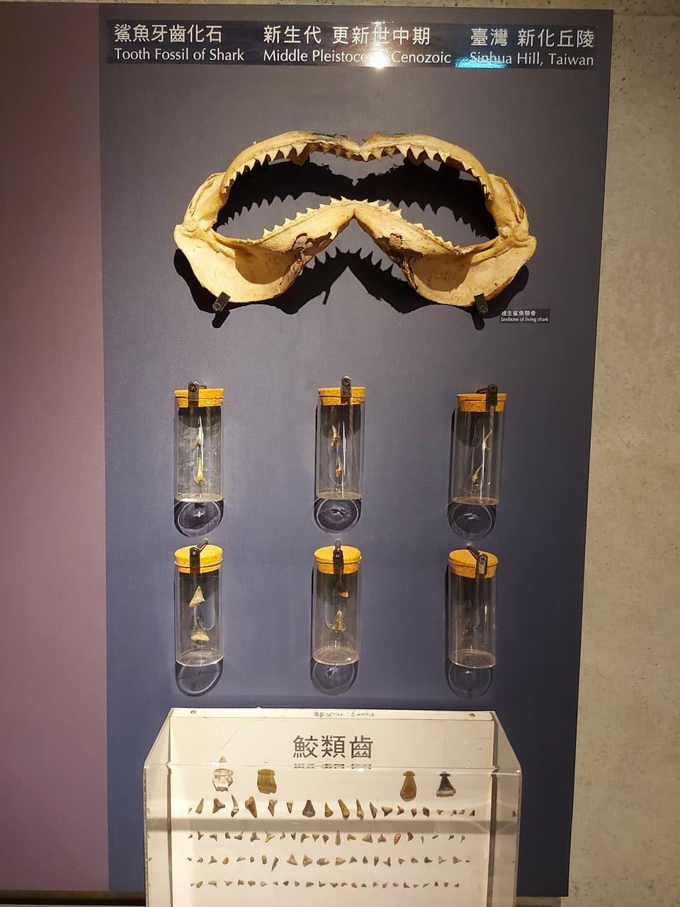 左鎮化石園區鯊魚牙齒