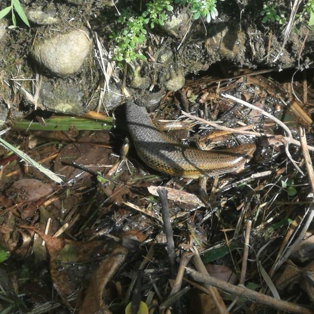 觀音山步道蜥蜴