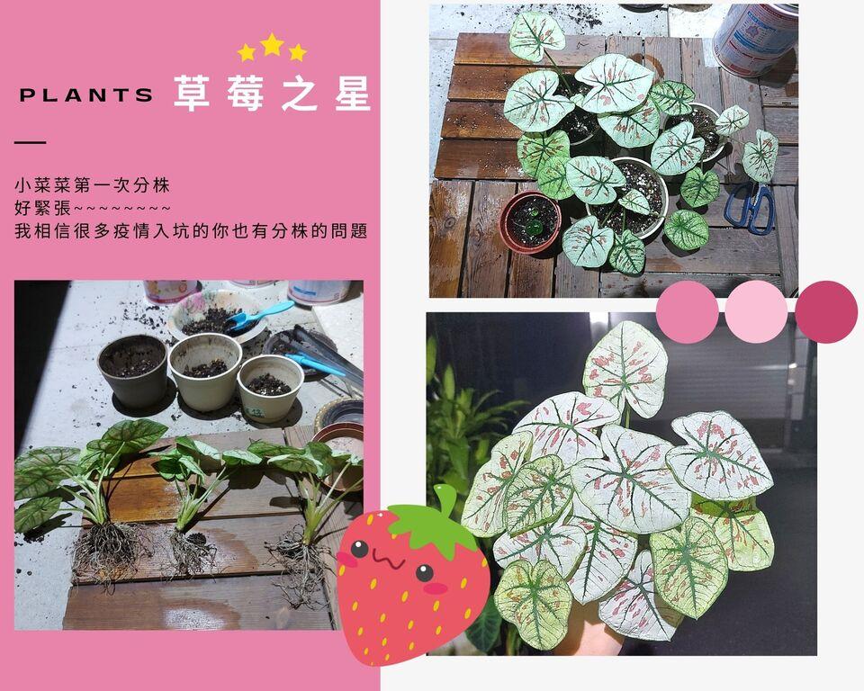 草莓之星彩葉芋分株教學